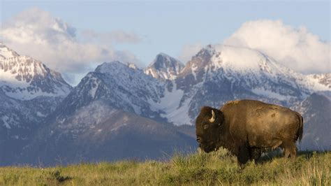 free with pictures bison wallpapers wallpaper cave