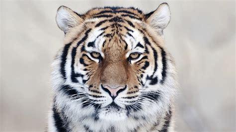 of tiger siberian tiger wallpaper