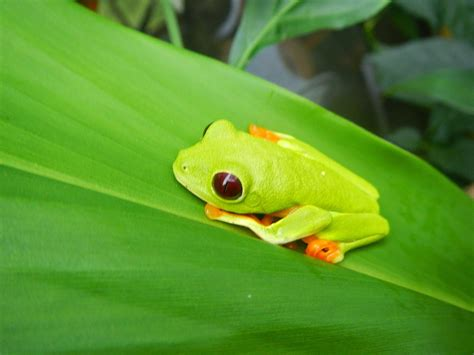 orange and blue tree image gallery orange blue tree frog