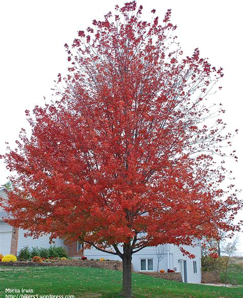 maple tree small yard 301 moved permanently