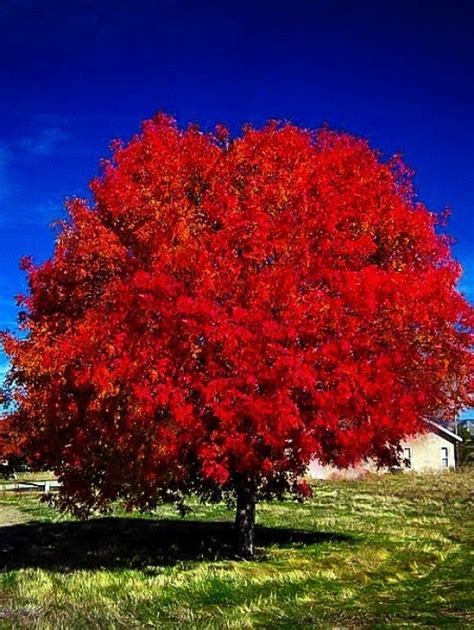 maple tree all year sold out read more