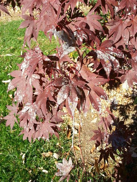 maple tree problems bloodgood japanese maple disease ask an expert