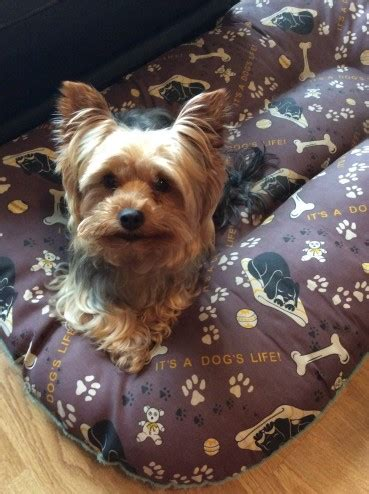 yorkshire terrier sale yorkshire terrier for sale barnsley south yorkshire
