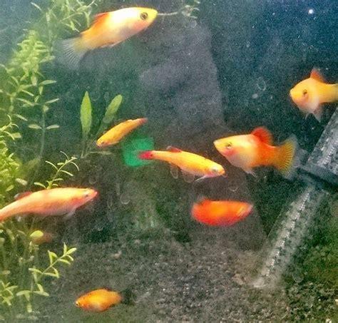 donne poissons d aquarium eau douce gratuit 95810 vallangoujard don poissons et aquariums