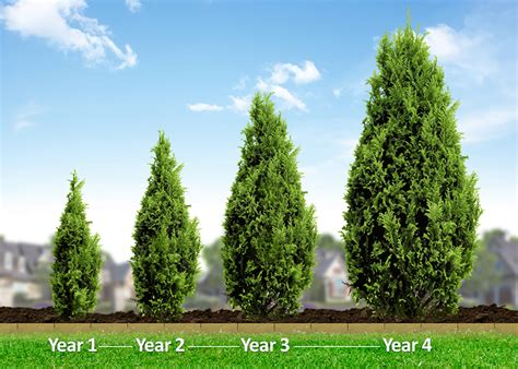fast growing trees italian cypress evergreen trees for sale fast growing trees