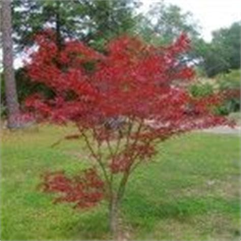 japanese maple problems common japanese maple tree diseases and pests trees and acer palmatum