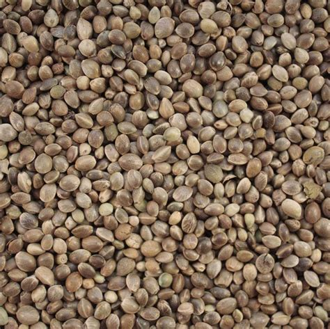 seed wholesale bulk buy hemp seed 15 kg for bird feed fishing bait