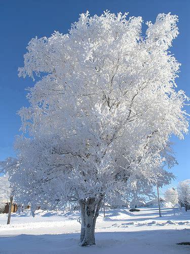 tree in white snow white tree beautiful snowy tree in negaunee mi