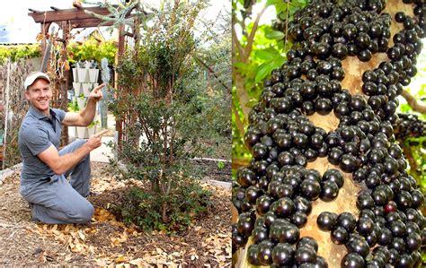 tree in brazil how to plant grow a jabuticaba tree grape