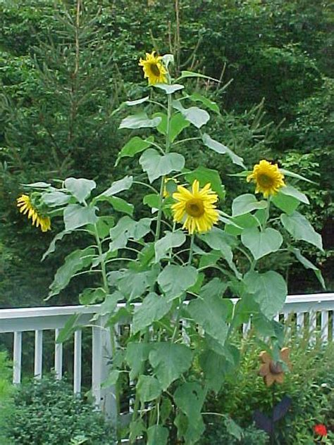 sunflower rubber sts direct clipart