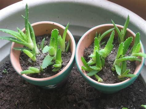 how to grow aloe vera from seed the garden of eaden