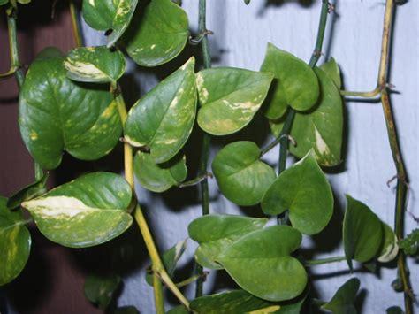 pin feuilles plante grimpante nature autresinconnu png image on