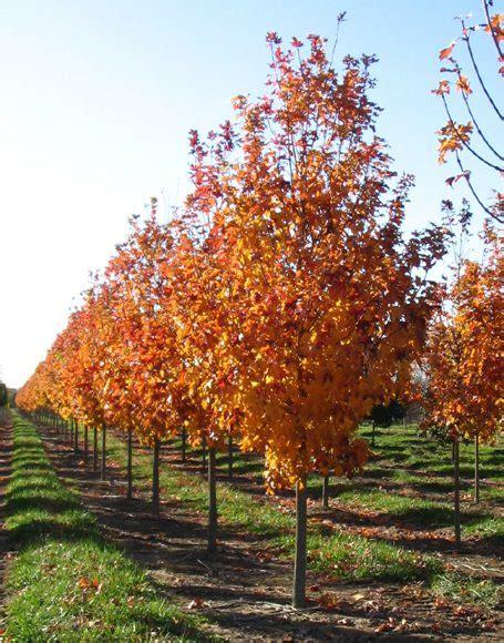 maple tree growing tips acer saccharum fall moon nurseries