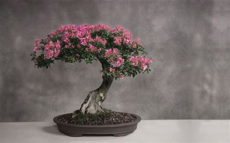 a cherry tree bonsai cherry blossom bonsai trees bonsai tree gardener