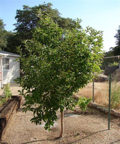 13 foot tree apple trees malus domestica arizona vegetable fruit