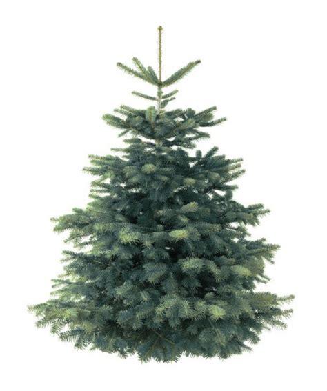 weihnachtsbaum tanne weihnachtsbaum tanne my