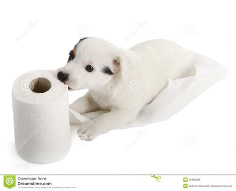 puppy with toilet paper royalty free stock image image 35189086
