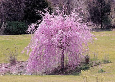 cherry tree weeping weeping cherry pink 6ft hello hello plants garden supplies