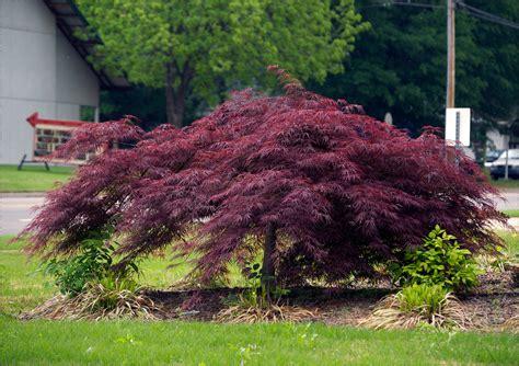 maple tree japanese buy crimson japanese maple free shipping 99 99
