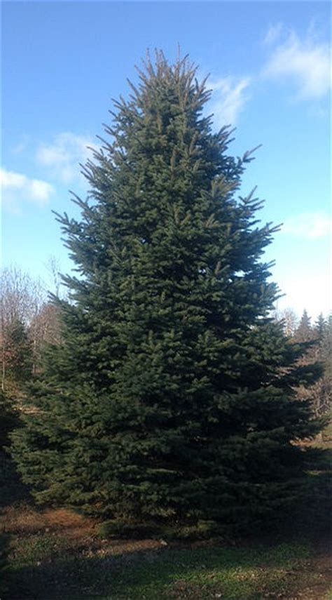 maple tree evergreen tree farm prices mn evergreen maple pine spruce birch shade arbor hill