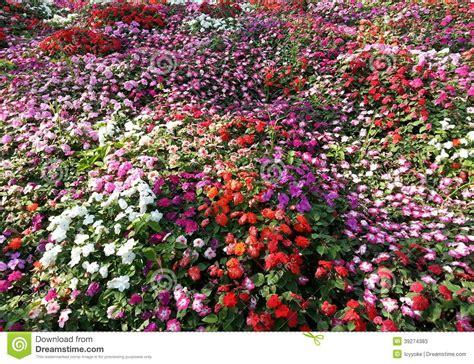 impatiens fond de tapis de fleur photo stock image 39274383