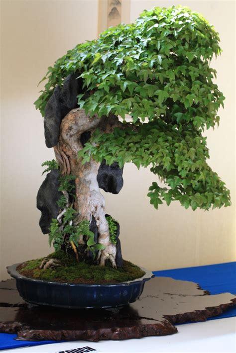 maple bonsai tree uk best of bonsai show april 2011 swindon district bonsai