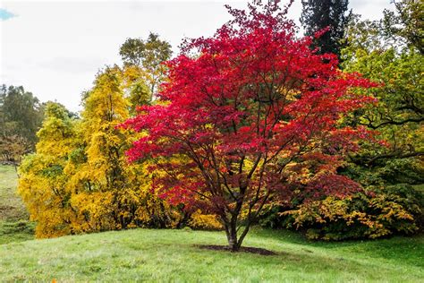 maple tree when to plant japanese maples how to plant care and prune garden design