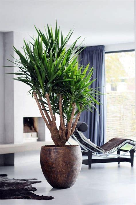 plante d int 233 rieur yucca elephantipes id 233 al pour la salle 224 manger ou le salon plantes d