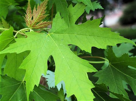 maple tree leaves isu forestry extension tree identification silver maple acer saccharinum