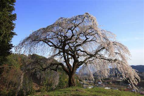 information about weeping cherry tree