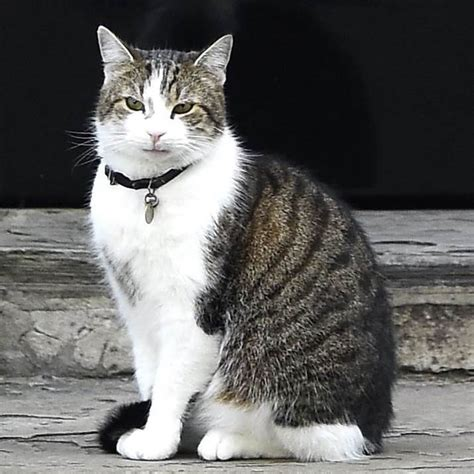 a cat for britain gets new pm but larry the downing cat stays
