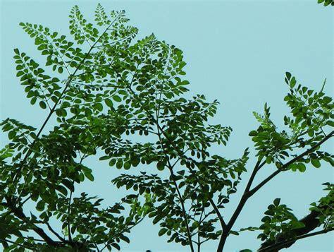 tree of sohanjna tree pakistan images