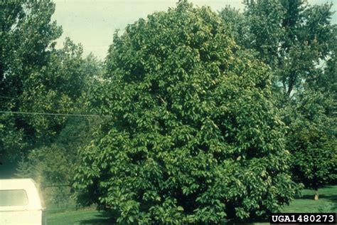 cucumber tree cucumber tree magnolia acuminata magnoliales