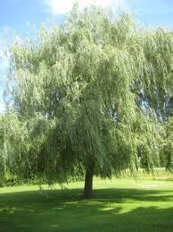outside tree clump paper birch trees garden ideas trees