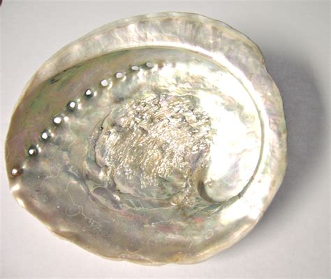 abalone shell white abalone shell