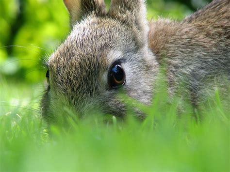 steer manure in vegetable garden rabbit manure in the garden vegetable gardener