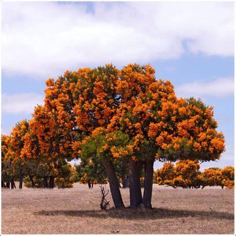 western australian tree nuytsia floribunda the weekend planet abc radio