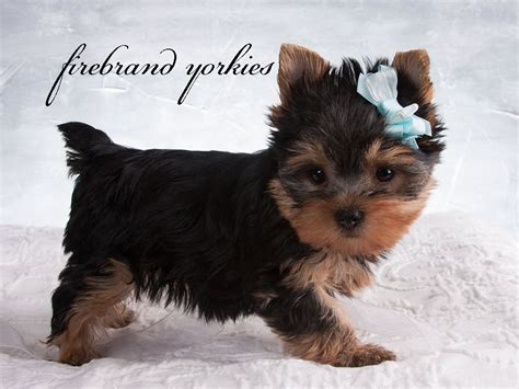 yorkshire terrier sale firebrand yorkies quality yorkshire terrier breeder in wi