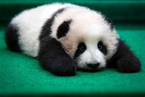 one panda 2048 baby animals