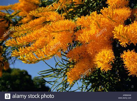 western australian tree western australian tree 28 images nuytsia floribunda