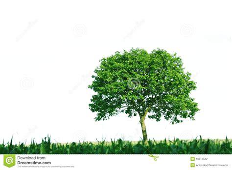 tree on white single tree on white background stock photography image