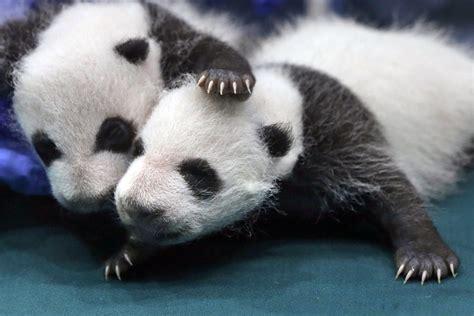 one panda panda endangered list as china s conservation