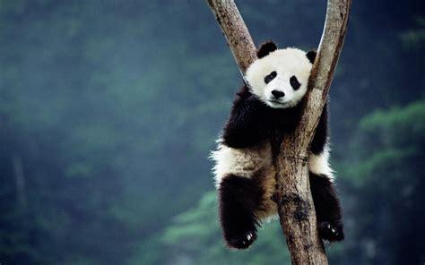 one panda baby panda wallpaper