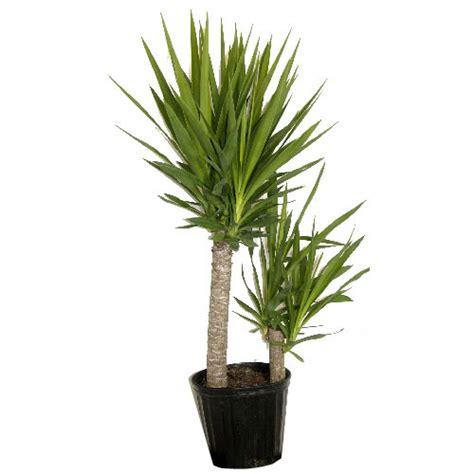 rona tree plants quot yucca quot shrub rona
