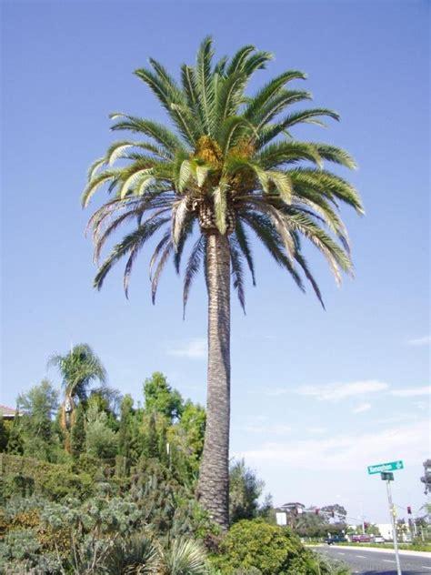 national tree dates national tree of saudi arabia palm 123countries