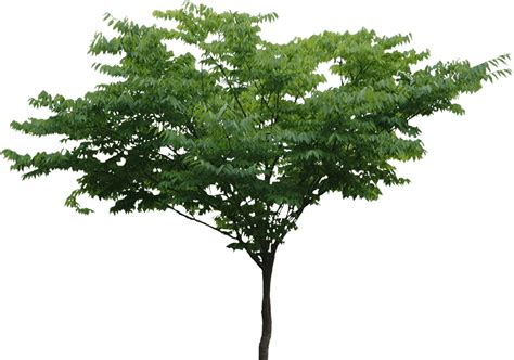 tree c tree png transparent images png all