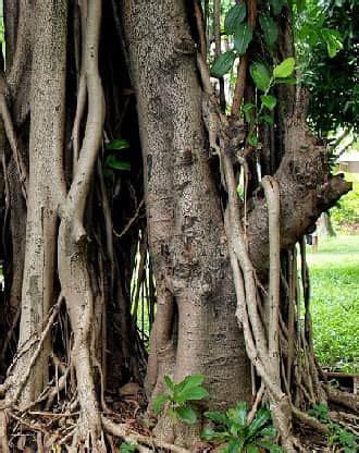 Rubber Tree Rainforest Www Pixshark Images