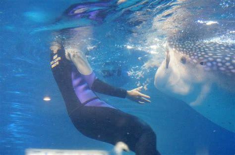 whale shark feeding picture of osaka aquarium kaiyukan osaka tripadvisor