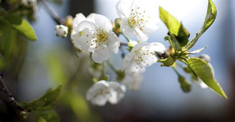 when to prune a flowering cherry tree ehow uk