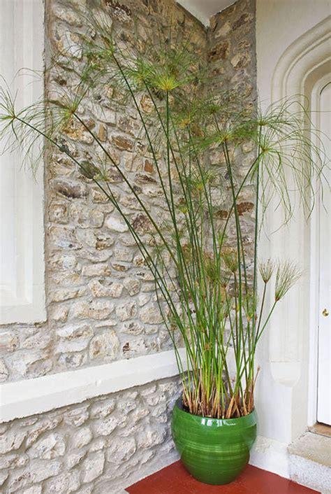 conserver un papyrus en pot d 233 tente jardin